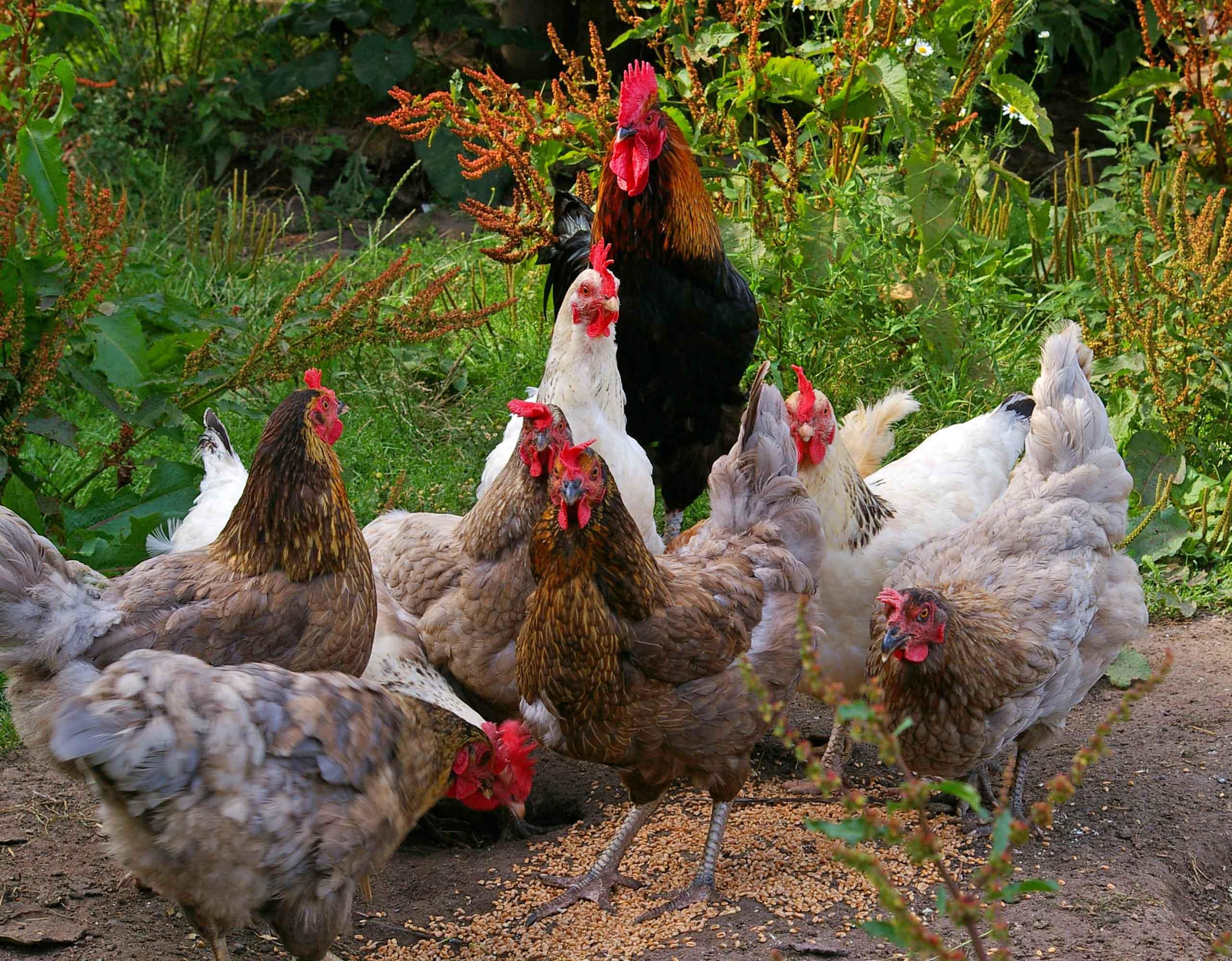 Gallinas y polluelos al aire libre