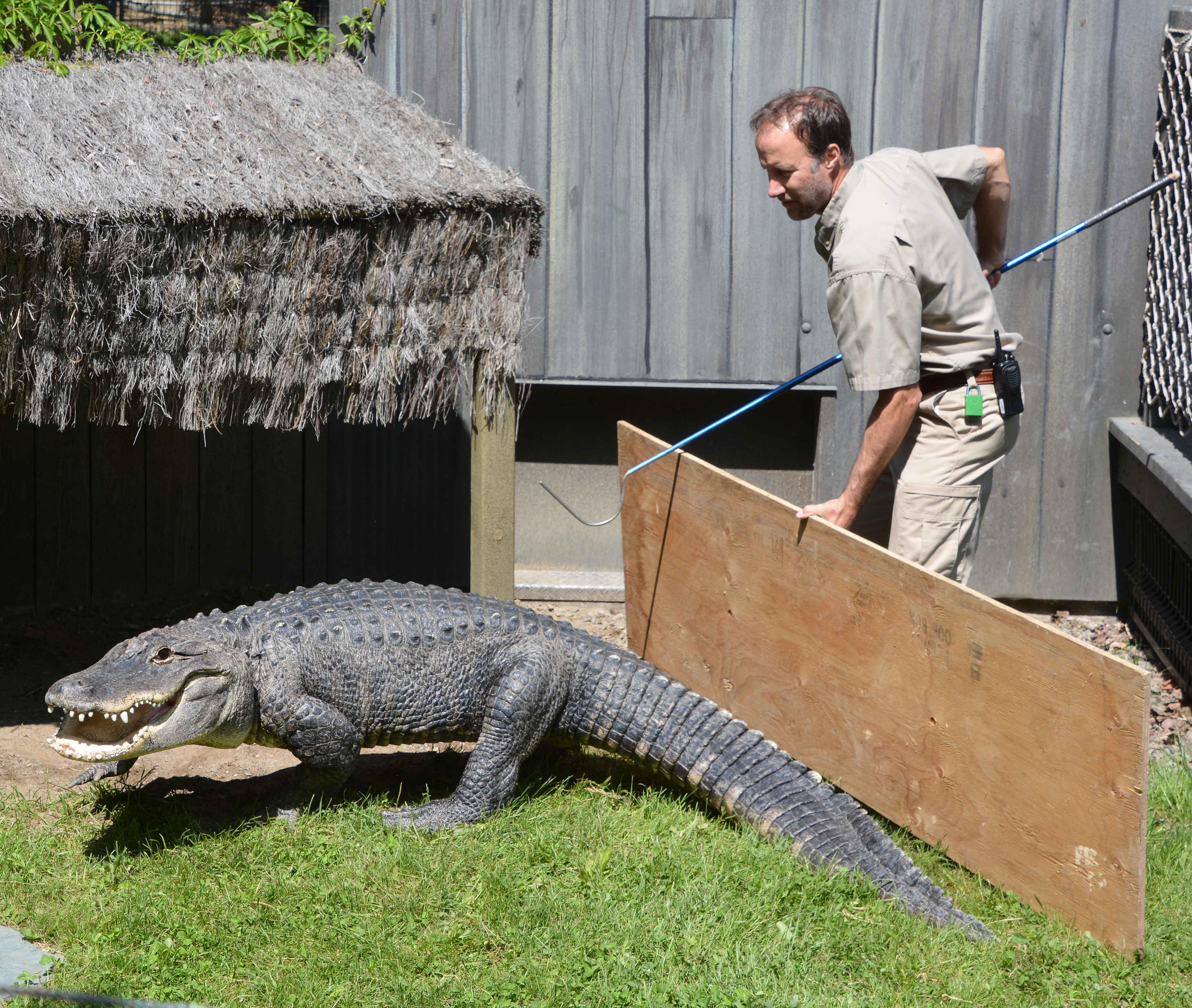 Cuidador entrando en recinto de caimán