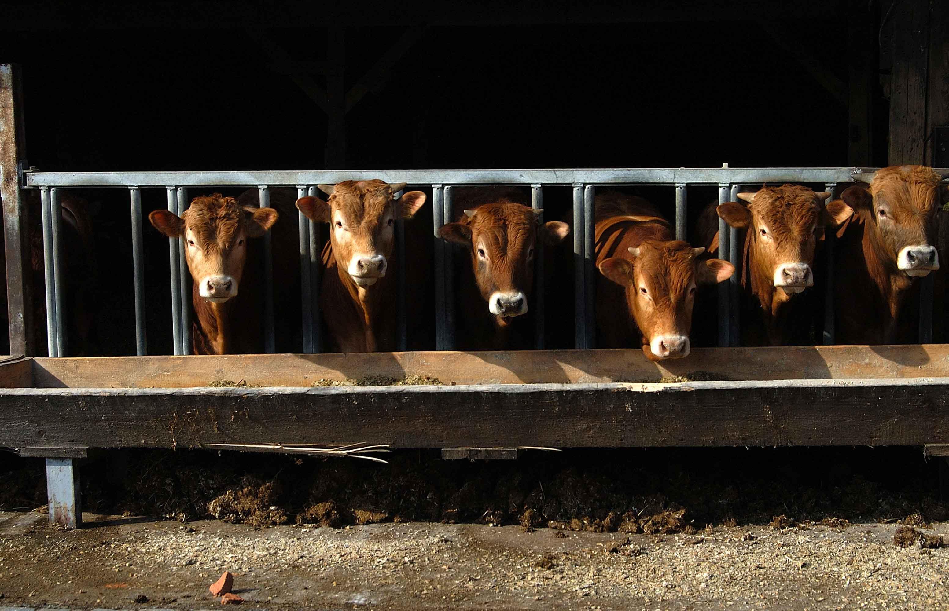 Vacas en instalacion ganadera