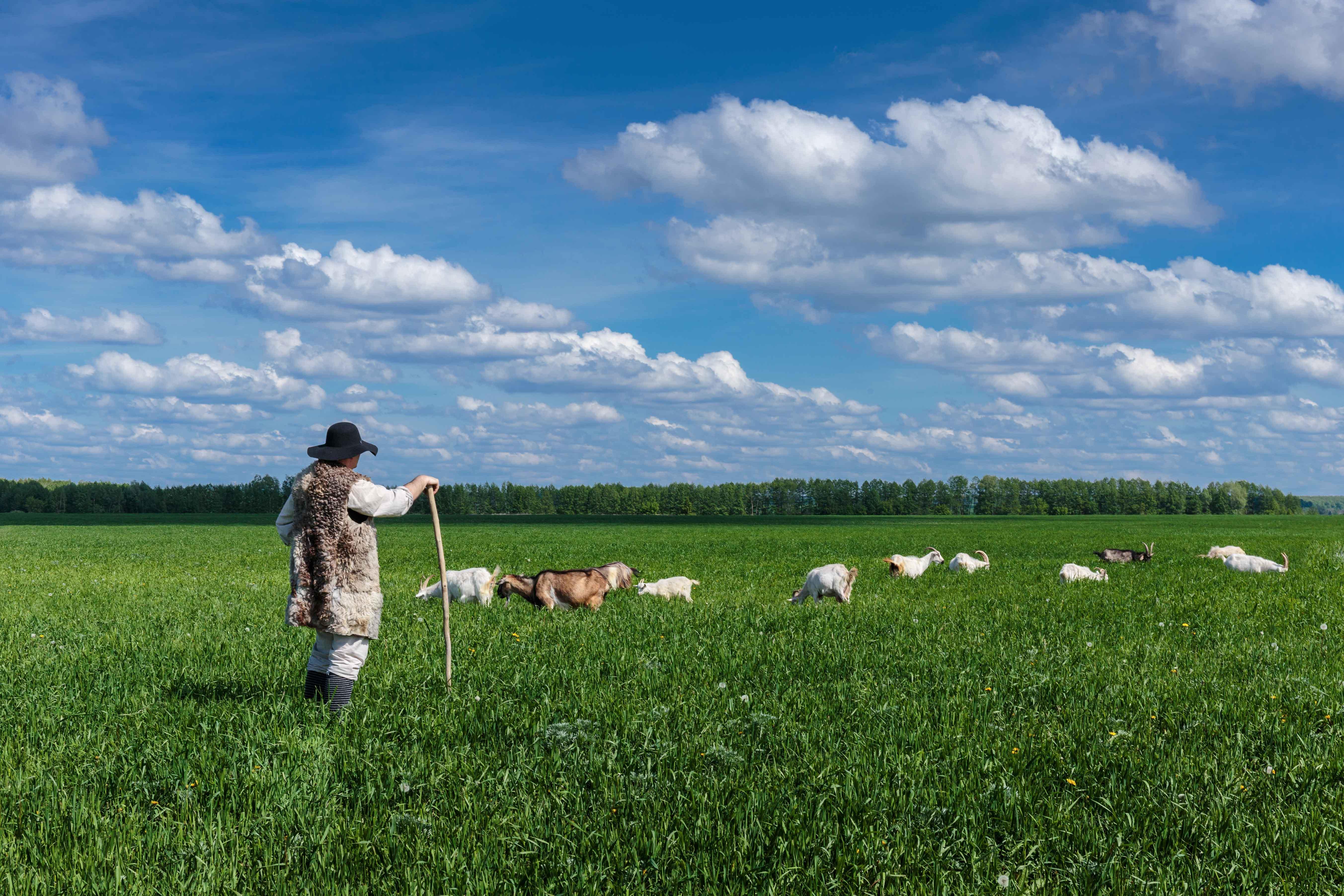 Hombre pastoreando ganado