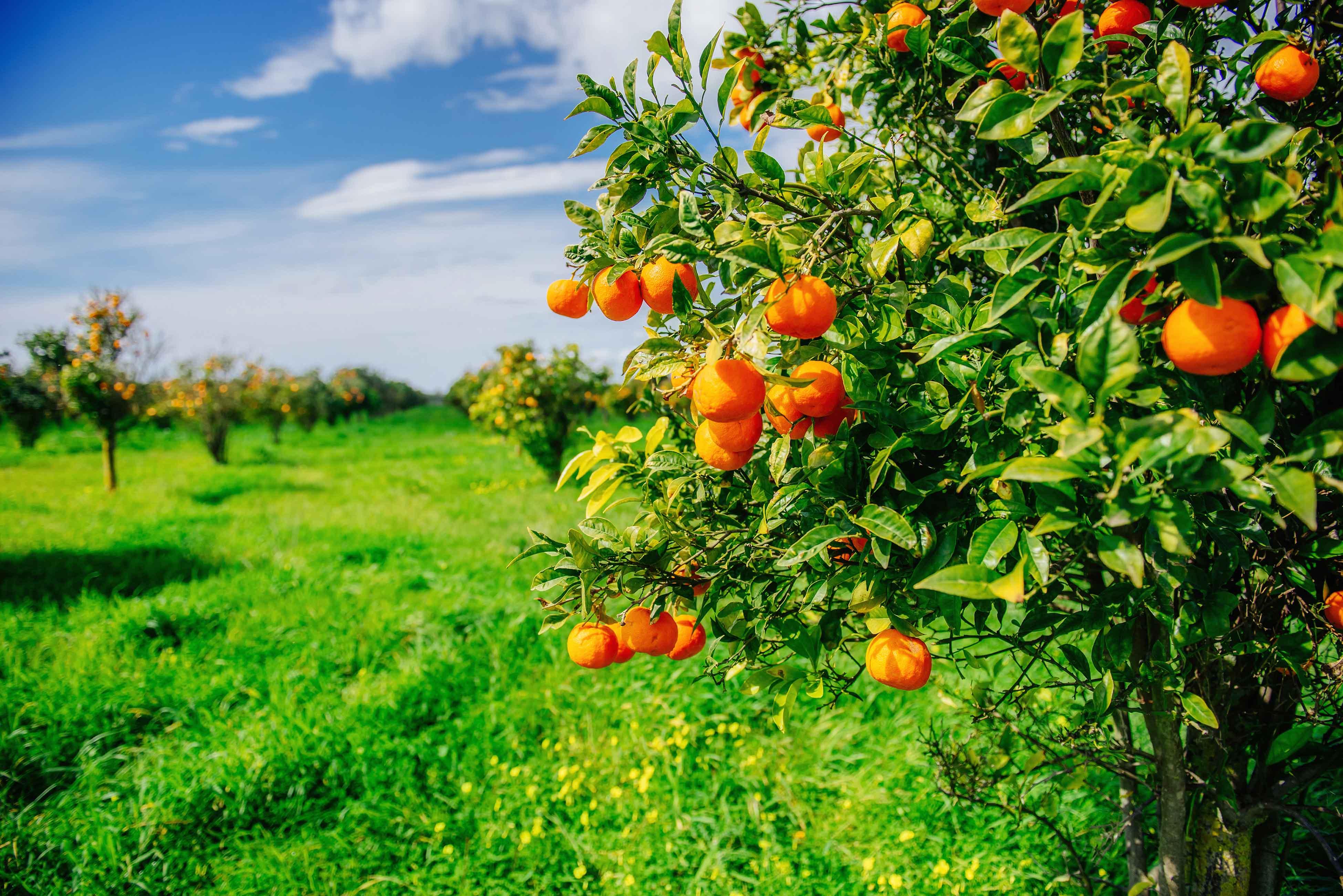 Naranjo en campo
