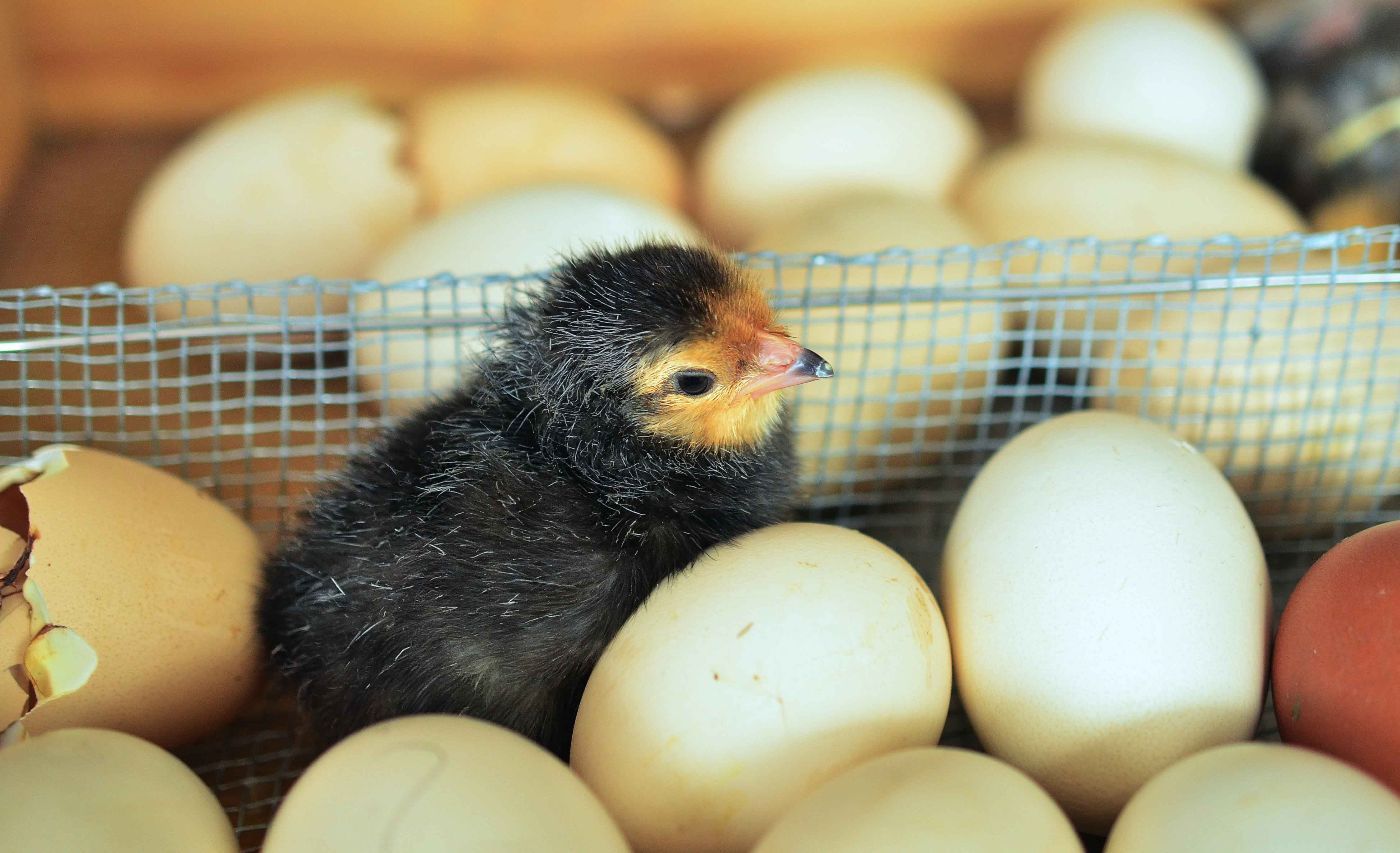 Polluelo junto a huevos
