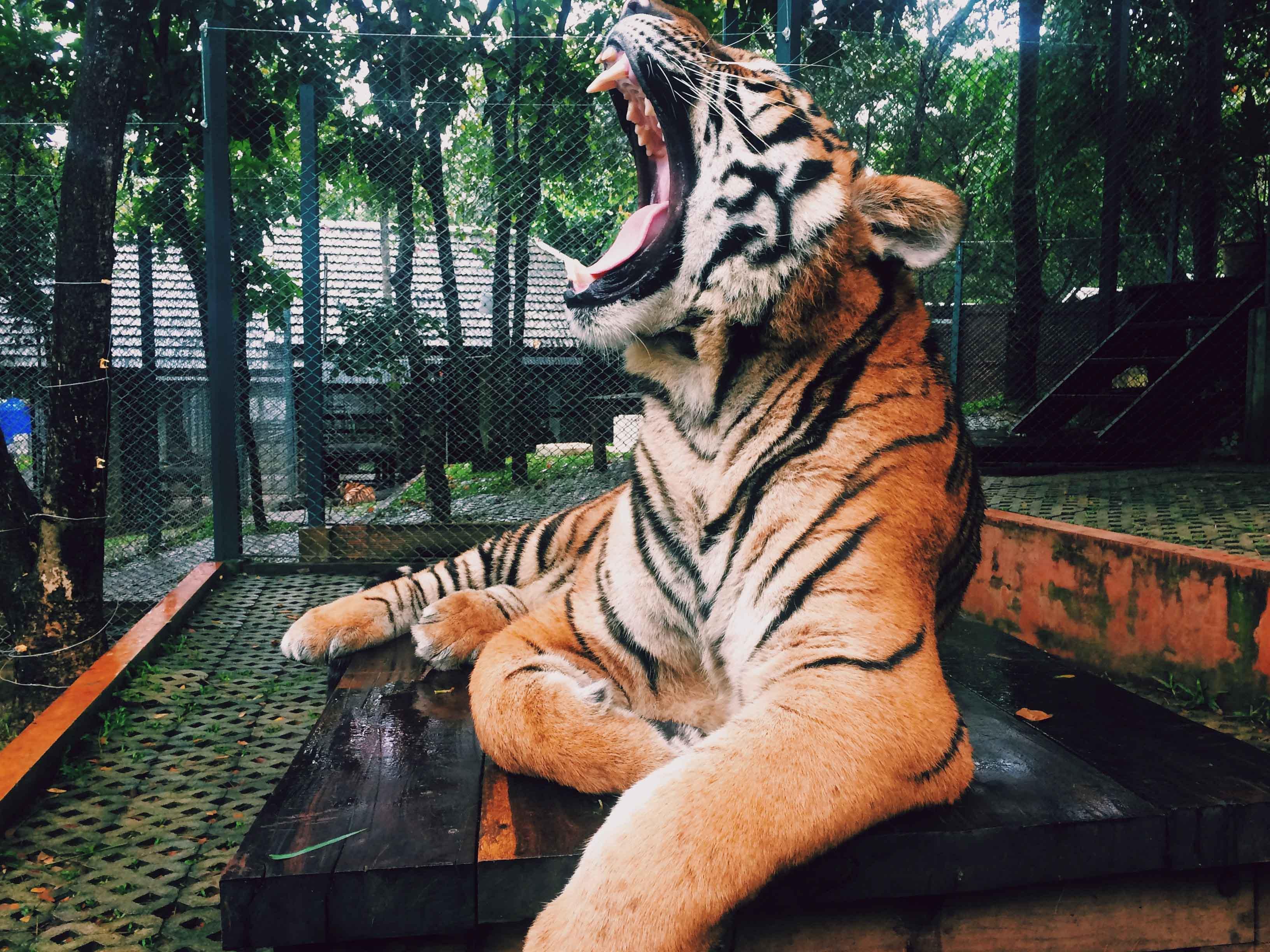 Tigre bostezando en entorno de zoológico